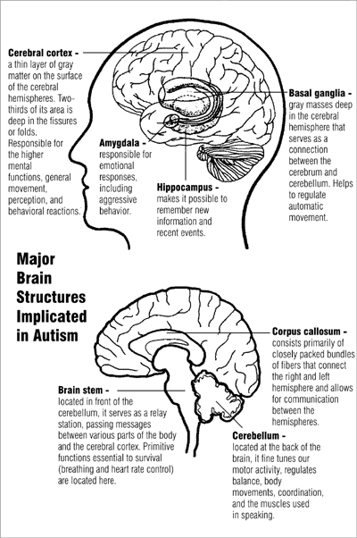 Major Brain Structure Implicated in Autism