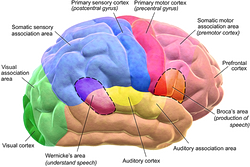 Brain Motor & Sensory Perception Illustrated